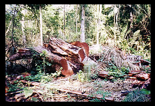 Mahogany Logging in Peru